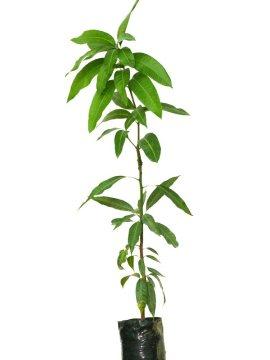 Planta de mango Keitt