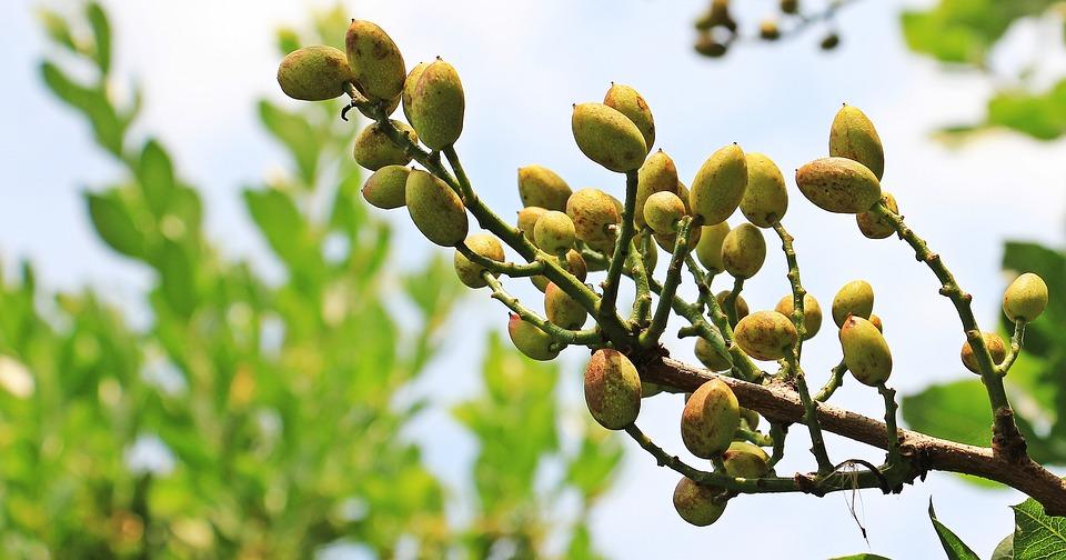El cultivo de la planta del Pistacho en Andalucía