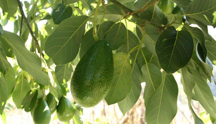 Descripción del árbol del aguacate por Viveros Grajera
