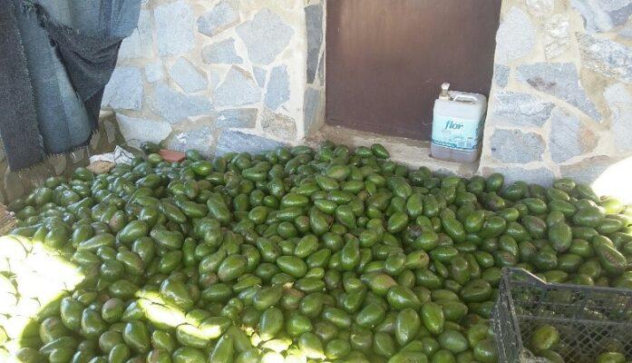 Proceso del cultivo de la planta del aguacate en Viveros Grajera