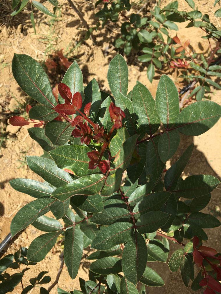 Plantaciones del árbol del Pistacho en la provincia de Córdoba
