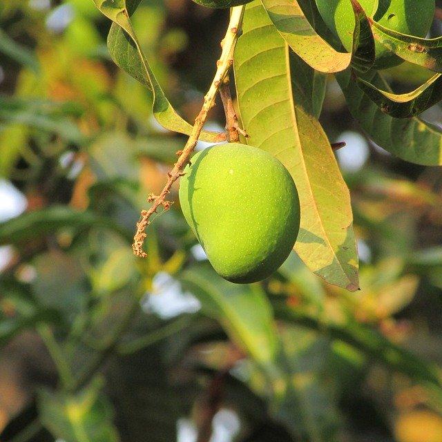 Venta y cultivo del árbol del Mango en Andalucía