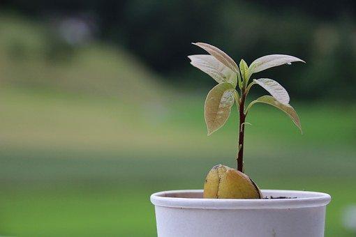 ¿Cómo producimos planta de aguacate?