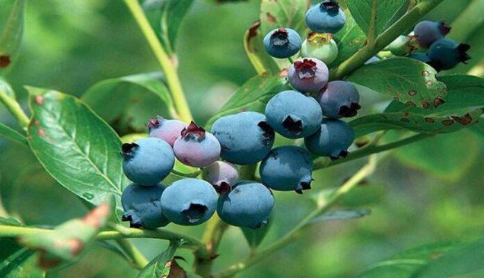 Venta y producción plantas de Arándanos