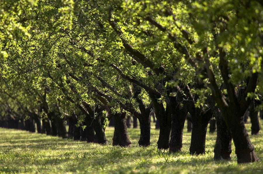 Almendras o pistachos que es mejor cultivar