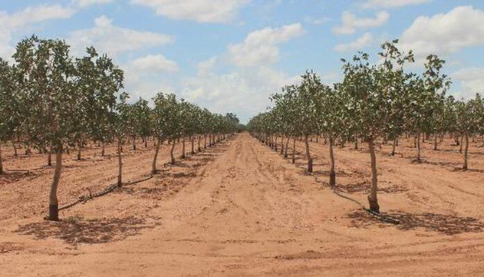 Cultivar o producir pistachos en España pasos a seguir