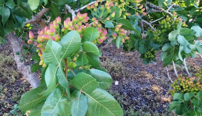 Cultivo de pistachos en España guía cuidado del árbol