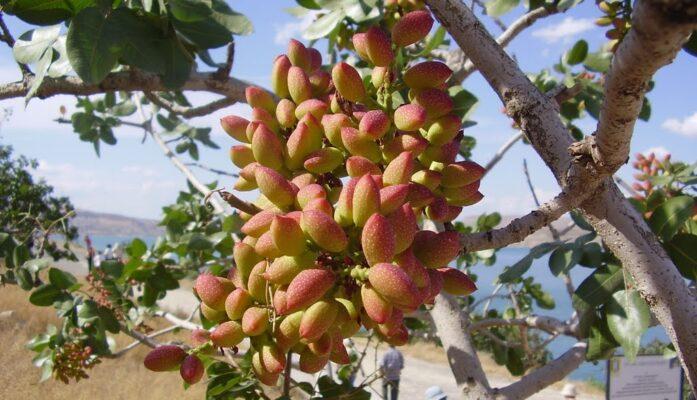 Producción de pistachos en España una apuesta segura