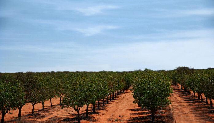 Vender y cultivar pistachos orgánicos tres métodos
