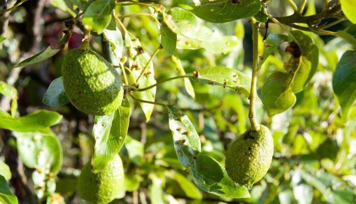 Tratamiento del árbol de aguacate cuidados y tratamientos