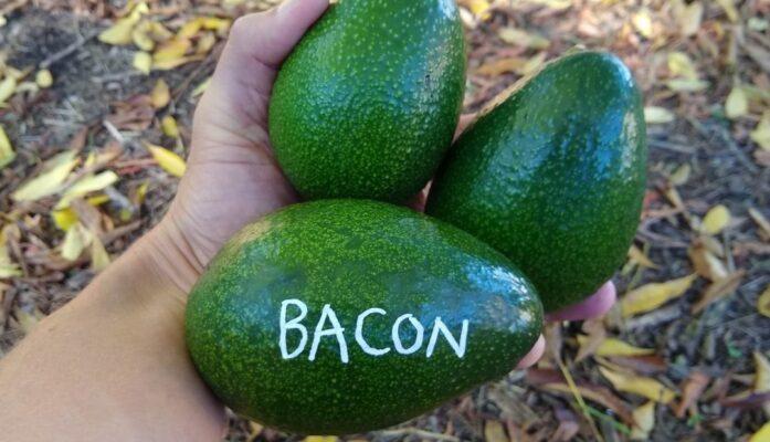 Árbol de aguacate Bacon información