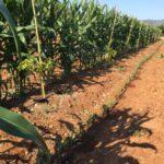 Plagas y enfermedades de los cultivos de aguacate