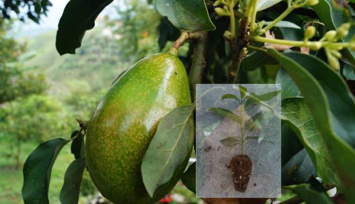 Diferencia entre planta Clonal y de Semilla del aguacate